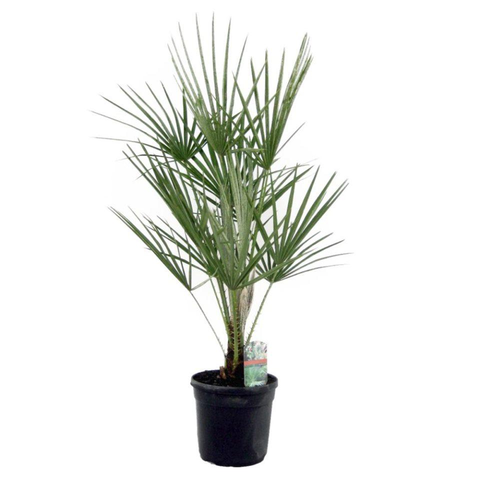 chamédorée, palmier nain